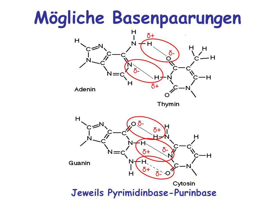 Mögliche Basenpaarungen Jeweils Pyrimidinbase-Purinbase δ+ δ-