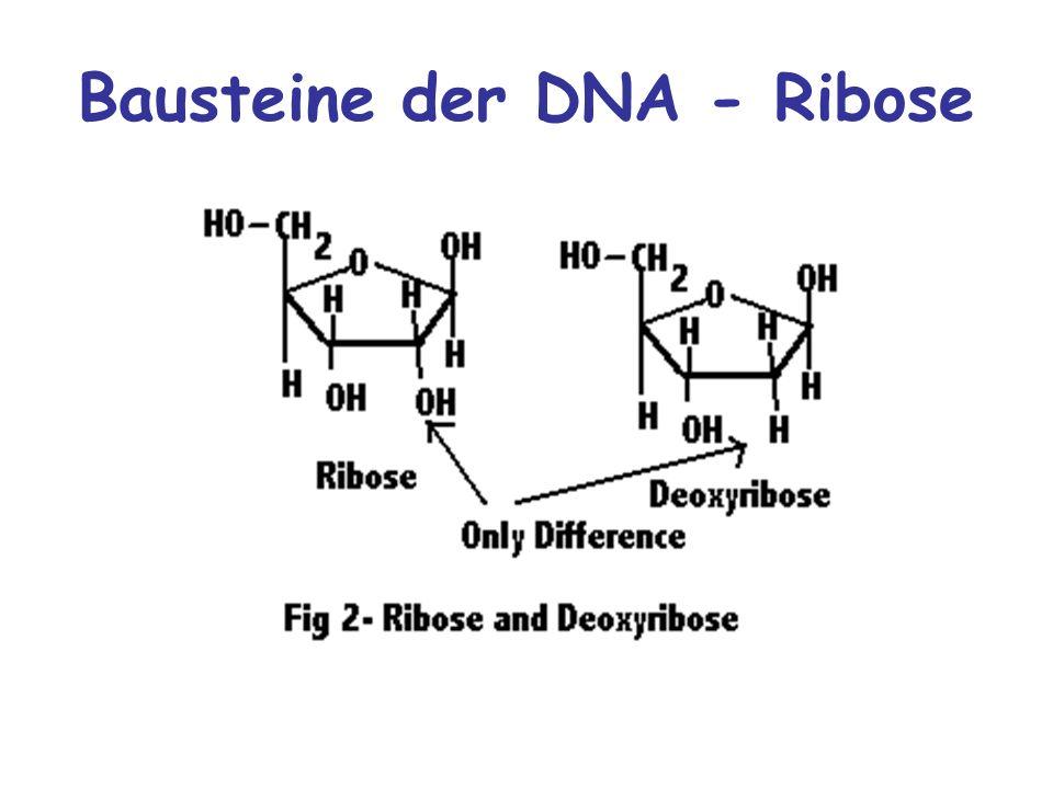 Bausteine der DNA - Ribose