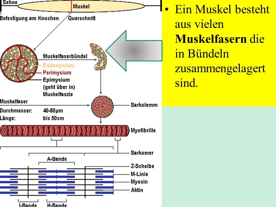 Struktur der quergestreiften Muskelfasern Ein Muskel besteht aus vielen Muskelfasern die in Bündeln zusammengelagert sind.