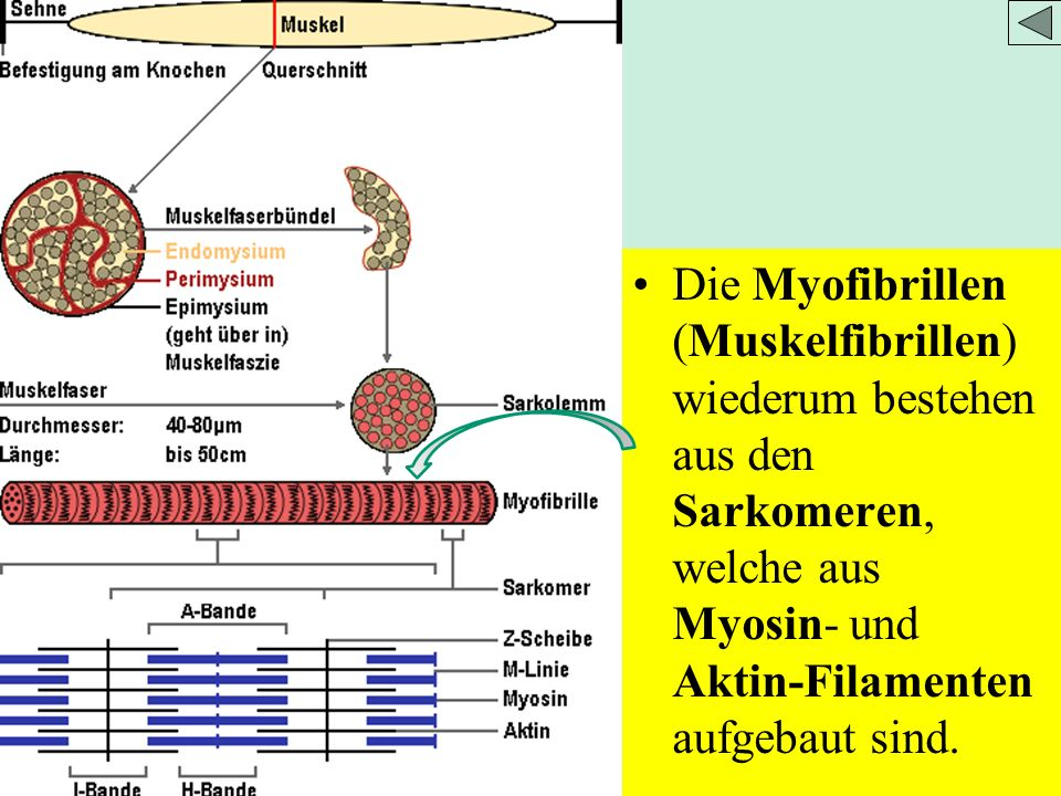 Die Myofibrillen (Muskelfibrillen) wiederum bestehen aus den Sarkomeren, welche aus Myosin- und Aktin-Filamenten aufgebaut sind.