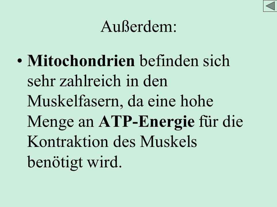 Außerdem: Mitochondrien befinden sich sehr zahlreich in den Muskelfasern, da eine hohe Menge an ATP-Energie für die Kontraktion des Muskels benötigt wird.
