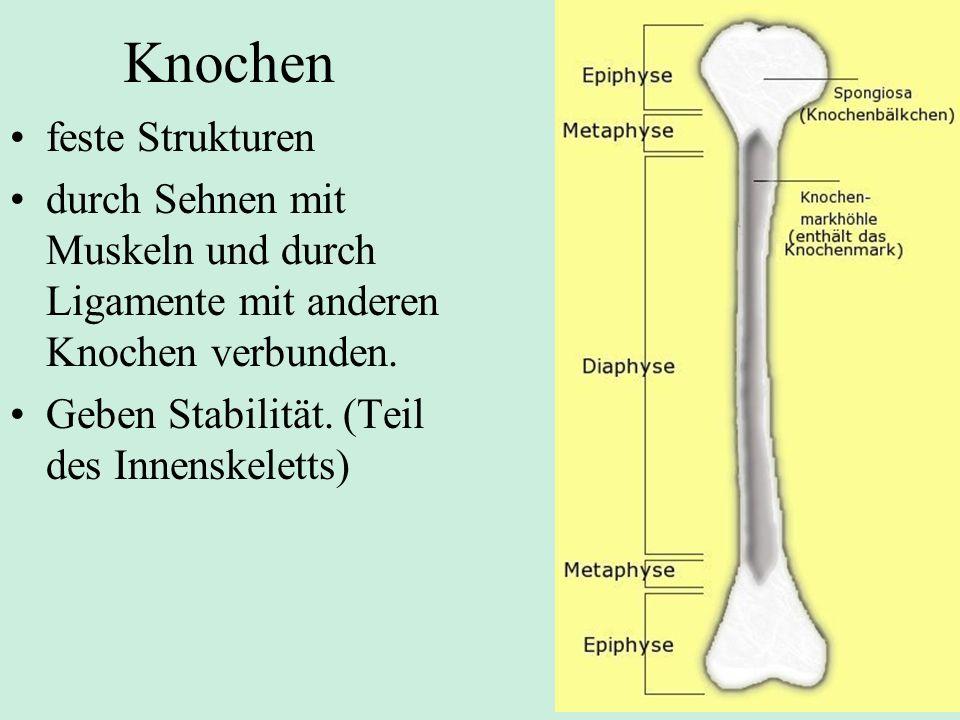 Knochen feste Strukturen durch Sehnen mit Muskeln und durch Ligamente mit anderen Knochen verbunden.