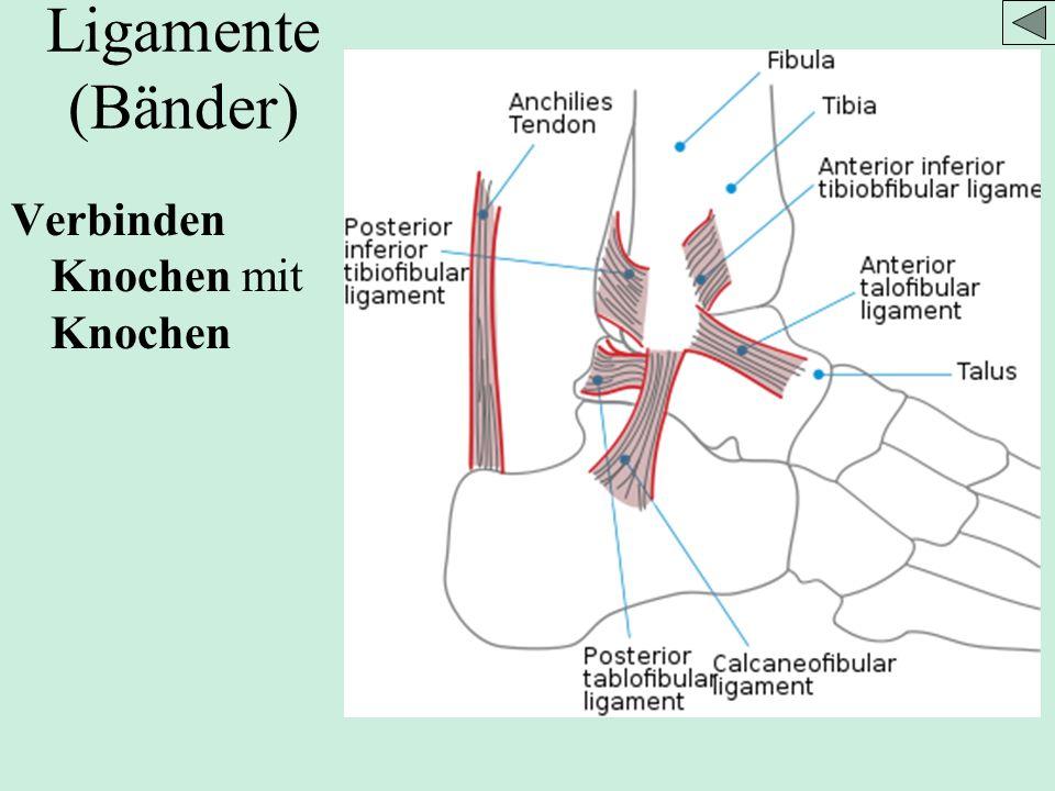 Ligamente (Bänder) Verbinden Knochen mit Knochen