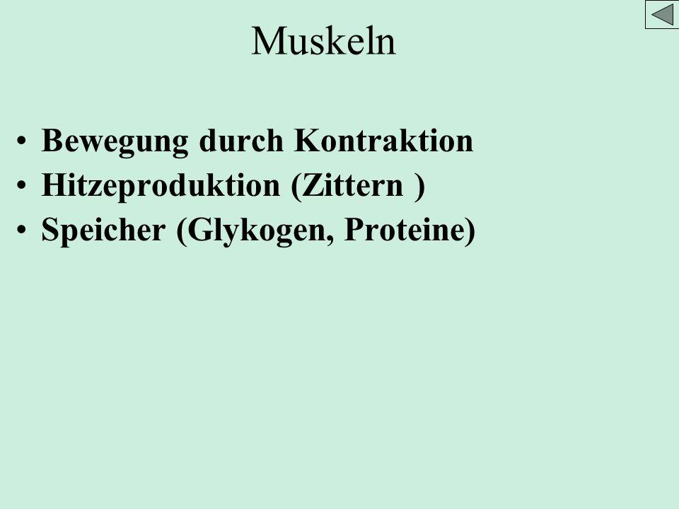 Bewegung durch Kontraktion Hitzeproduktion (Zittern ) Speicher (Glykogen, Proteine) Muskeln