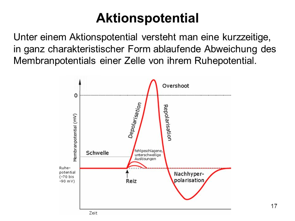 17 Unter einem Aktionspotential versteht man eine kurzzeitige, in ganz charakteristischer Form ablaufende Abweichung des Membranpotentials einer Zelle
