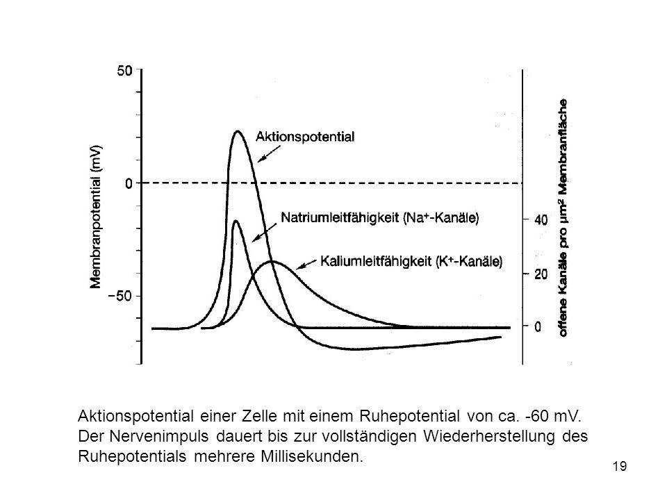 19 Aktionspotential einer Zelle mit einem Ruhepotential von ca. -60 mV. Der Nervenimpuls dauert bis zur vollständigen Wiederherstellung des Ruhepotent