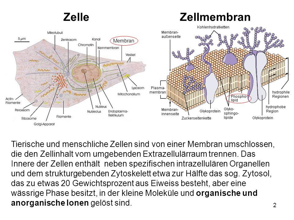 2 Tierische und menschliche Zellen sind von einer Membran umschlossen, die den Zellinhalt vom umgebenden Extrazellulärraum trennen. Das Innere der Zel