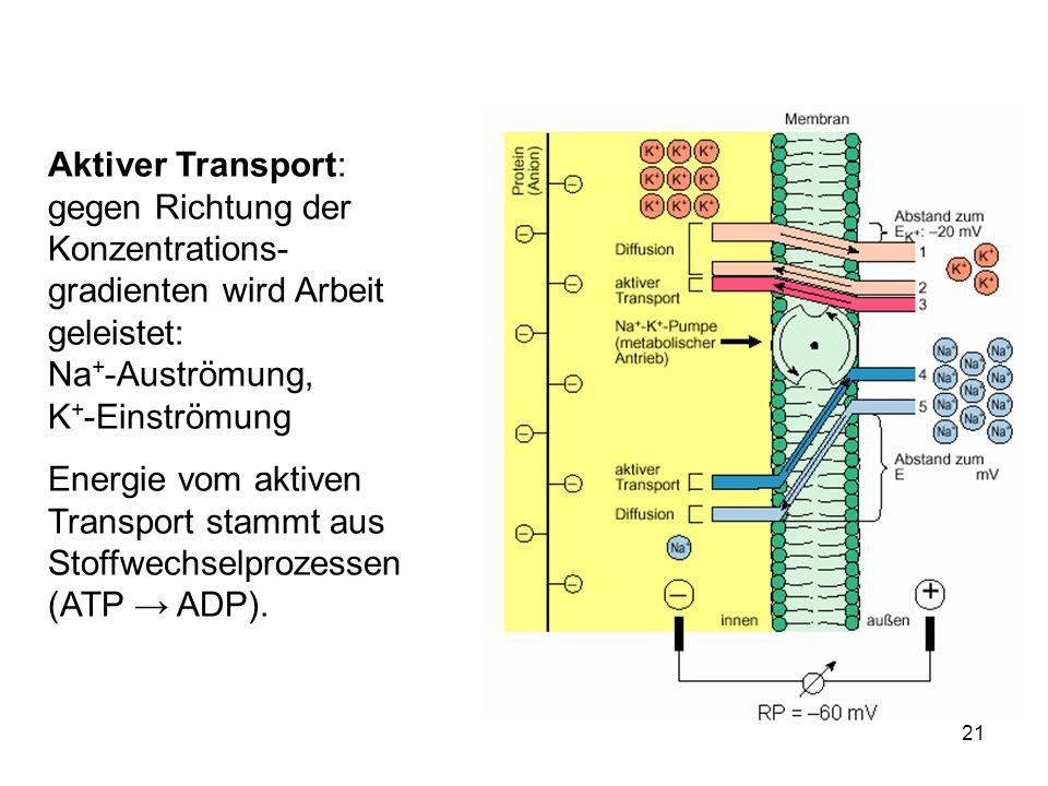 21 Aktiver Transport: gegen Richtung der Konzentrations- gradienten wird Arbeit geleistet: Na + -Auströmung, K + -Einströmung Energie vom aktiven Tran