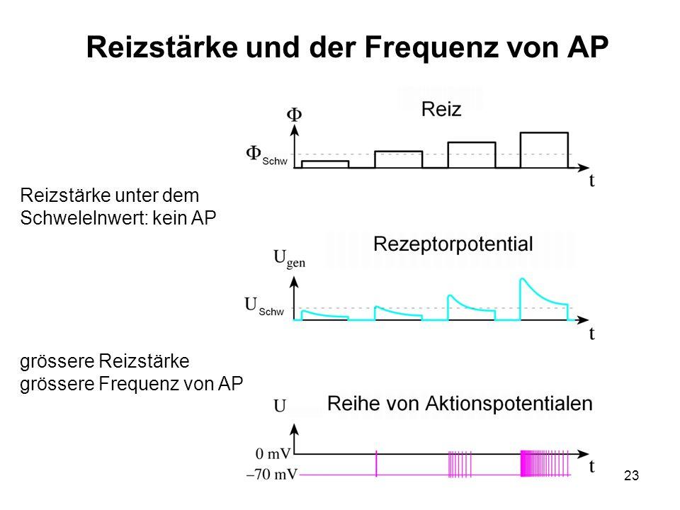 23 Reizstärke und der Frequenz von AP Reizstärke unter dem Schwelelnwert: kein AP grössere Reizstärke grössere Frequenz von AP