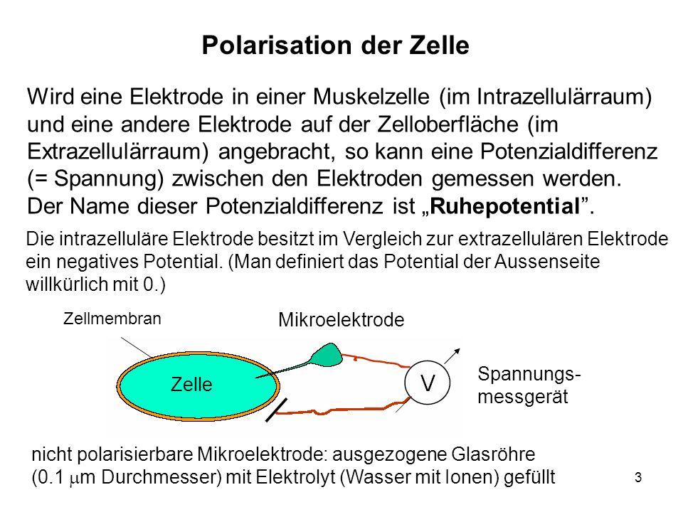 3 Wird eine Elektrode in einer Muskelzelle (im Intrazellulärraum) und eine andere Elektrode auf der Zelloberfläche (im Extrazellulärraum) angebracht,