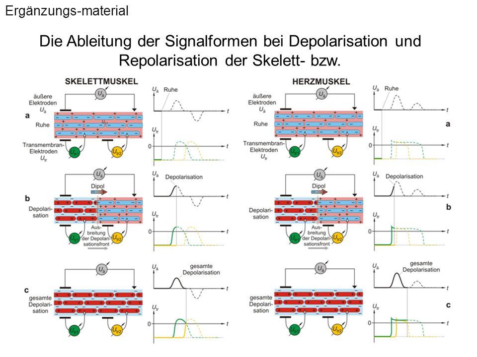 32 Die Ableitung der Signalformen bei Depolarisation und Repolarisation der Skelett- bzw. Ergänzungs-material