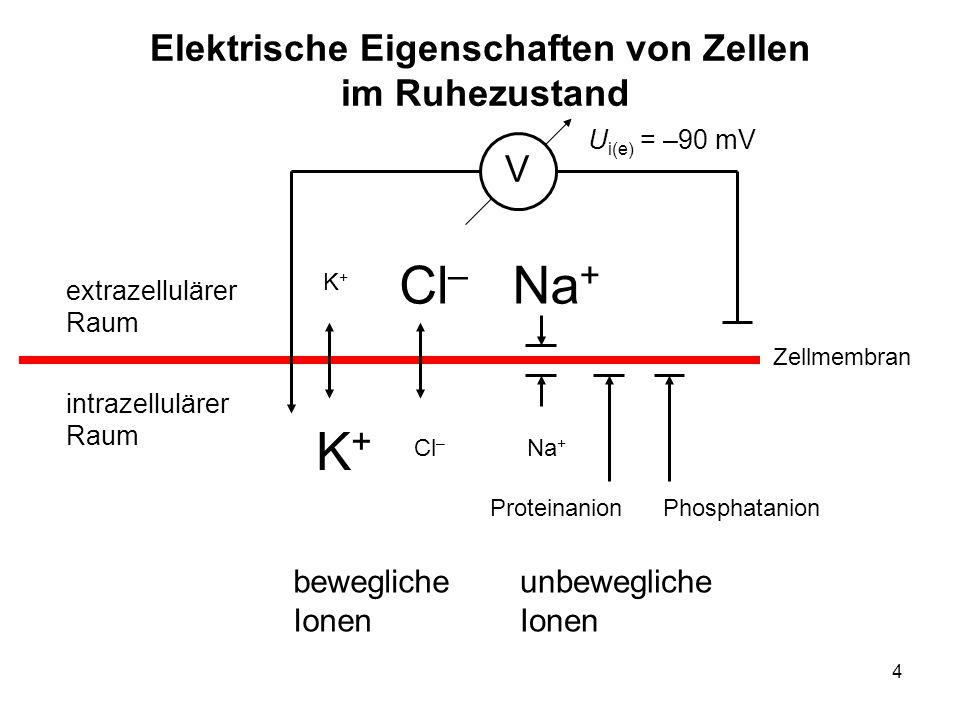 4 Elektrische Eigenschaften von Zellen im Ruhezustand extrazellulärer Raum intrazellulärer Raum Zellmembran Na + Cl – K+K+ K+K+ V PhosphatanionProtein