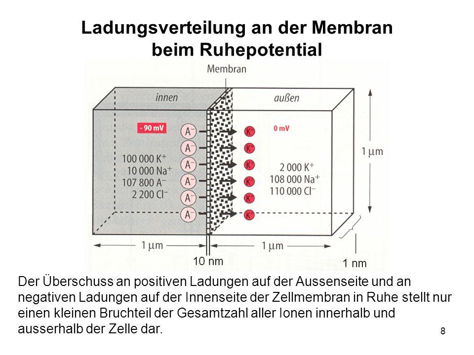 8 Ladungsverteilung an der Membran beim Ruhepotential Der Überschuss an positiven Ladungen auf der Aussenseite und an negativen Ladungen auf der Innen