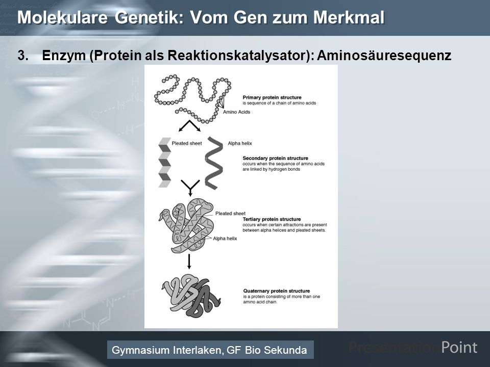 Here comes your footer Page 20 Molekulare Genetik: Vom Gen zum Merkmal 3.Enzym (Protein als Reaktionskatalysator): Aminosäuresequenz Gymnasium Interlaken, GF Bio Sekunda