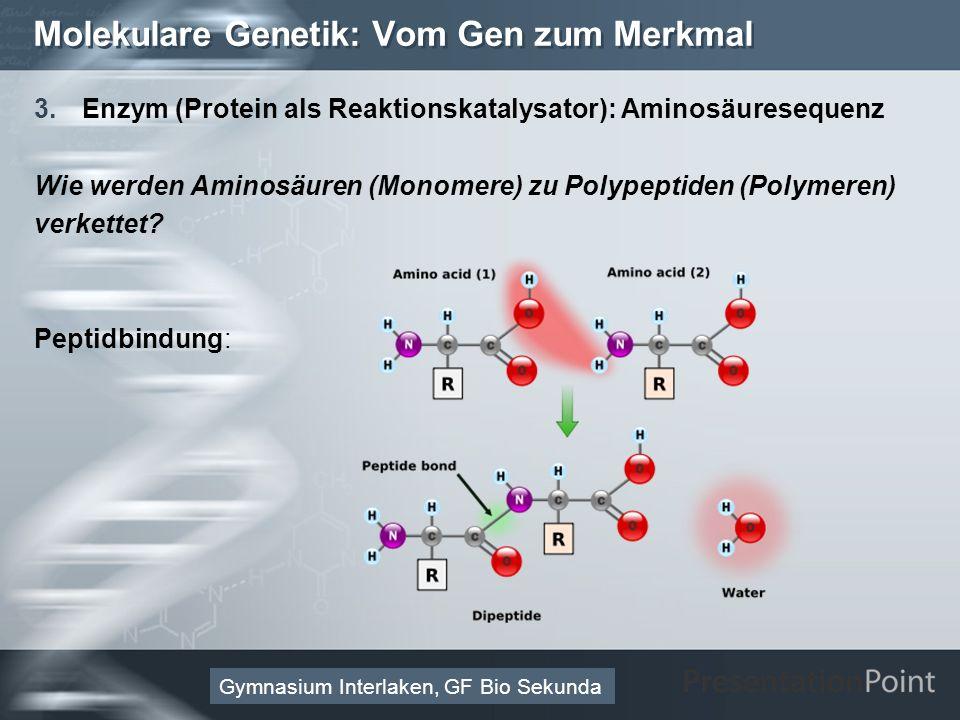 Here comes your footer Page 32 Molekulare Genetik: Vom Gen zum Merkmal 3.Enzym (Protein als Reaktionskatalysator): Aminosäuresequenz Wie werden Aminosäuren (Monomere) zu Polypeptiden (Polymeren) verkettet.