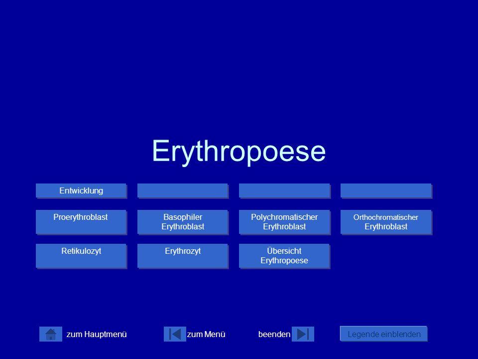 zum Menübeenden Legende einblenden zum Hauptmenü Erythropoese Proerythroblast Erythrozyt Retikulozyt Basophiler Erythroblast Basophiler Erythroblast Polychromatischer Erythroblast Polychromatischer Erythroblast Orthochromatischer Erythroblast Orthochromatischer Erythroblast Übersicht Erythropoese Übersicht Erythropoese Entwicklung