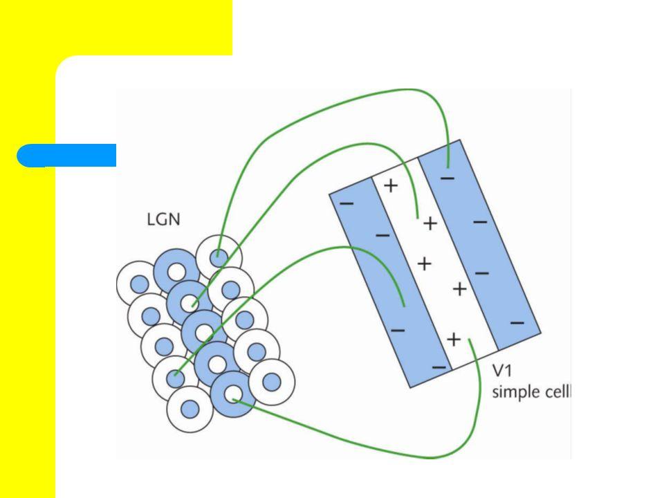 Complex cells Auch komplexe Zellen bevorzugen bestimmte Ausrichtungen, allerdings haben sie keine getrennten B ä nder f ü r erregende oder hemmende Effekte.