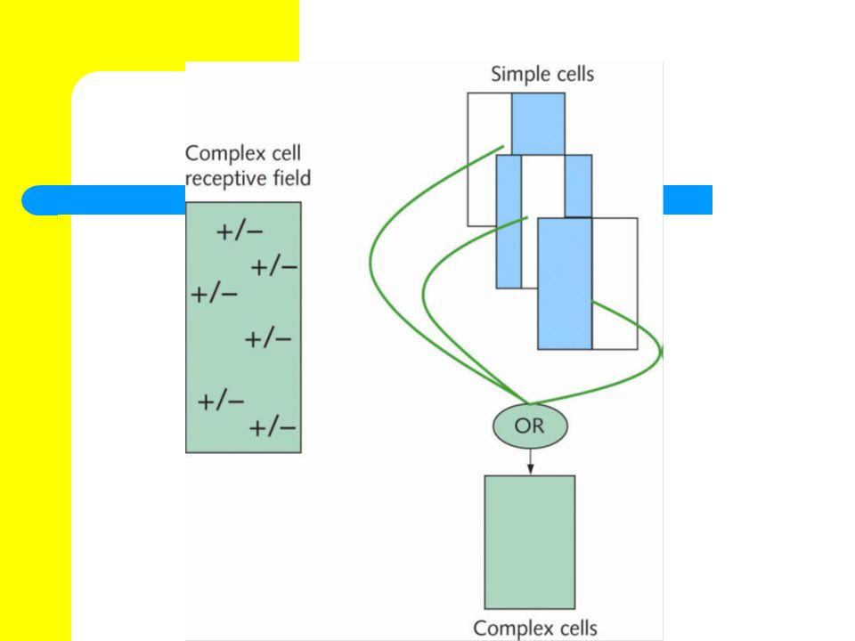 End-stopped receptive cells Neurone, die genau wie simple oder complex cells eine Pr ä ferenz f ü r Kanten, Linien oder Gitter haben, deren Reaktion jedoch abnimmt wenn ein Stimulierendes Muster ü ber eine bestimmte L ä nge hinausgeht.