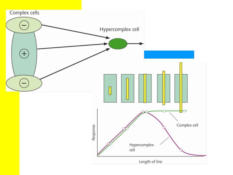 Abschlie ß ende Betrachtung der rezeptiven Felder Keine ersch ö pfende Beschreibung von complex und end-stopped cells, einige Aspekte hier vernachl ä ssigt.
