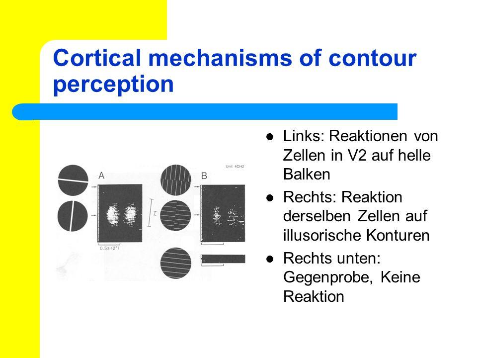 Cortical mechanisms of contour perception Links: Reaktionen von Zellen in V2 auf helle Balken Rechts: Reaktion derselben Zellen auf illusorische Kontu