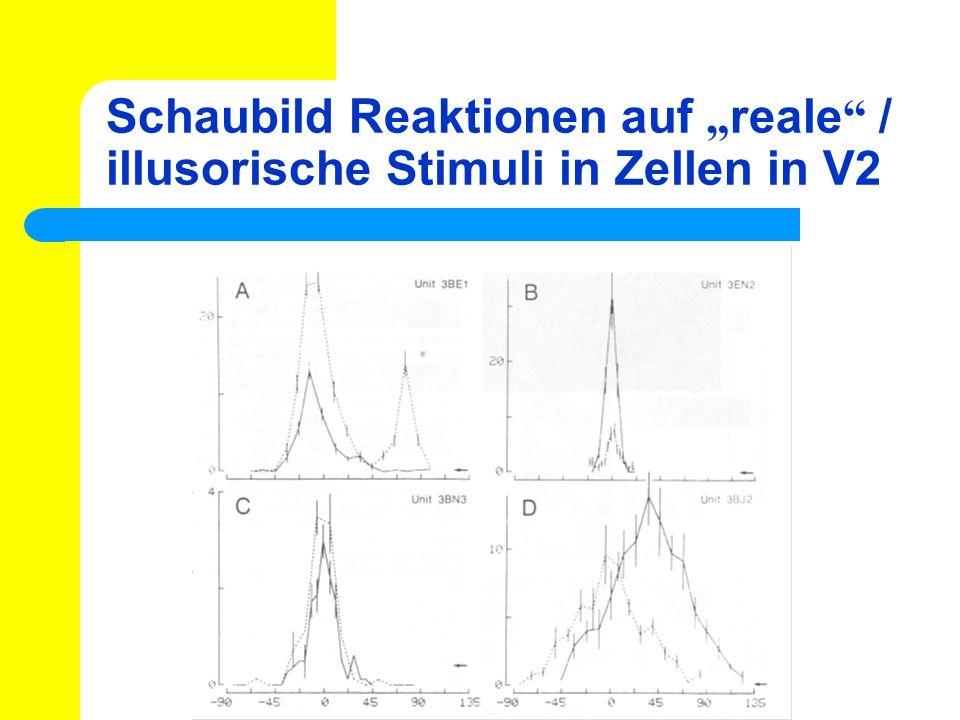 Schaubild Reaktionen auf reale / illusorische Stimuli in Zellen in V2