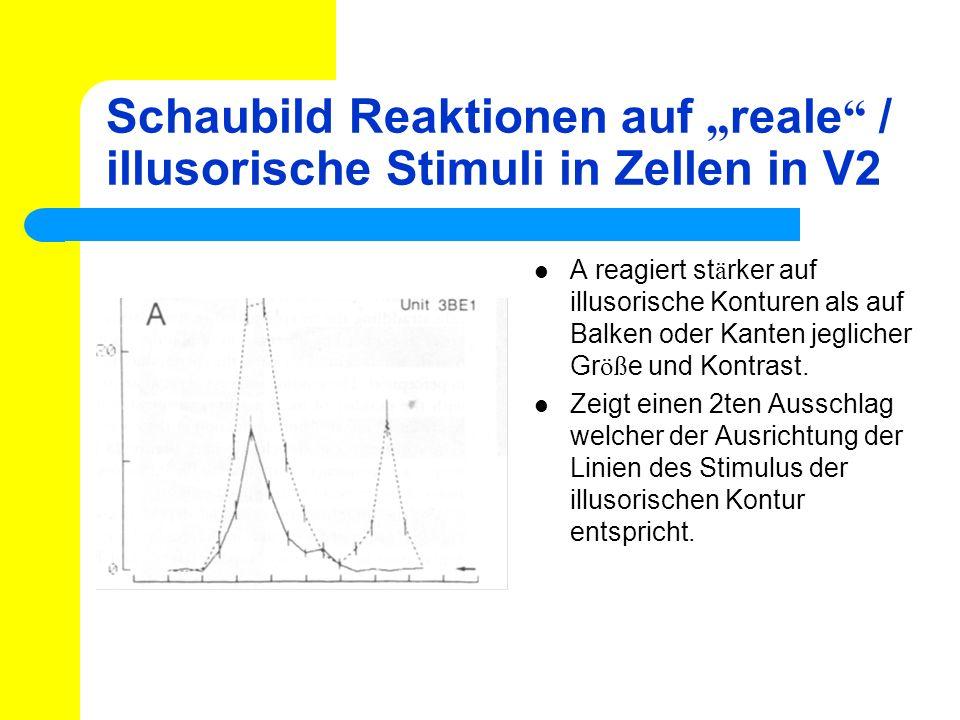 Schaubild Reaktionen auf reale / illusorische Stimuli in Zellen in V2 A reagiert st ä rker auf illusorische Konturen als auf Balken oder Kanten jeglic