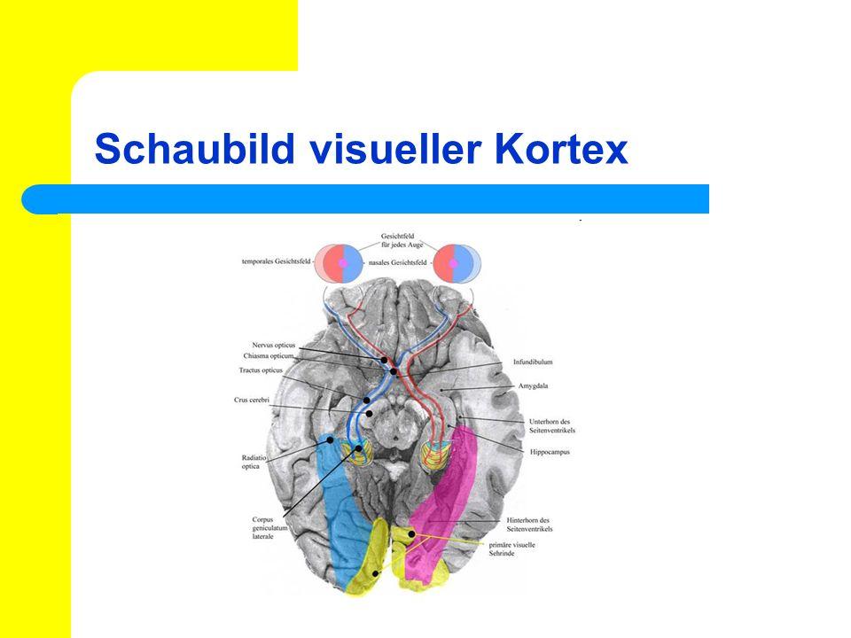 Schaubild visueller Kortex
