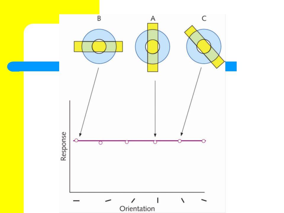 Simple receptive cells...haben rezeptive Felder, die in eine erregende und eine hemmende Zone unterteilt sind.