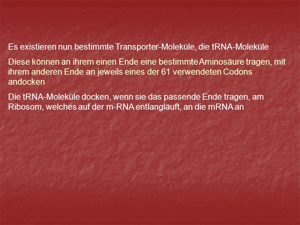 Es existieren nun bestimmte Transporter-Moleküle, die tRNA-Moleküle Diese können an ihrem einen Ende eine bestimmte Aminosäure tragen, mit ihrem anderen Ende an jeweils eines der 61 verwendeten Codons andocken Die tRNA-Moleküle docken, wenn sie das passende Ende tragen, am Ribosom, welches auf der m-RNA entlangläuft, an die mRNA an