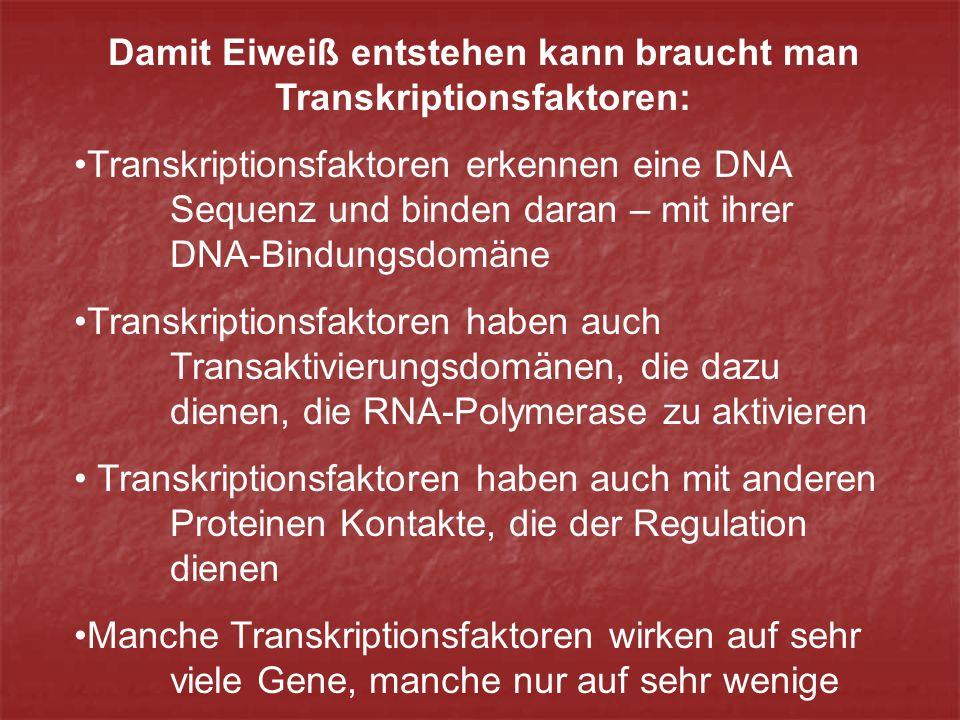 Damit Eiweiß entstehen kann braucht man Transkriptionsfaktoren: Transkriptionsfaktoren erkennen eine DNA Sequenz und binden daran – mit ihrer DNA-Bindungsdomäne Transkriptionsfaktoren haben auch Transaktivierungsdomänen, die dazu dienen, die RNA-Polymerase zu aktivieren Transkriptionsfaktoren haben auch mit anderen Proteinen Kontakte, die der Regulation dienen Manche Transkriptionsfaktoren wirken auf sehr viele Gene, manche nur auf sehr wenige