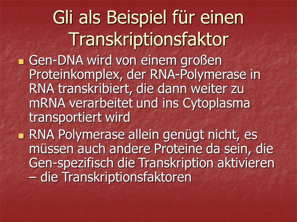 Gli als Beispiel für einen Transkriptionsfaktor Gen-DNA wird von einem großen Proteinkomplex, der RNA-Polymerase in RNA transkribiert, die dann weiter zu mRNA verarbeitet und ins Cytoplasma transportiert wird Gen-DNA wird von einem großen Proteinkomplex, der RNA-Polymerase in RNA transkribiert, die dann weiter zu mRNA verarbeitet und ins Cytoplasma transportiert wird RNA Polymerase allein genügt nicht, es müssen auch andere Proteine da sein, die Gen-spezifisch die Transkription aktivieren – die Transkriptionsfaktoren RNA Polymerase allein genügt nicht, es müssen auch andere Proteine da sein, die Gen-spezifisch die Transkription aktivieren – die Transkriptionsfaktoren