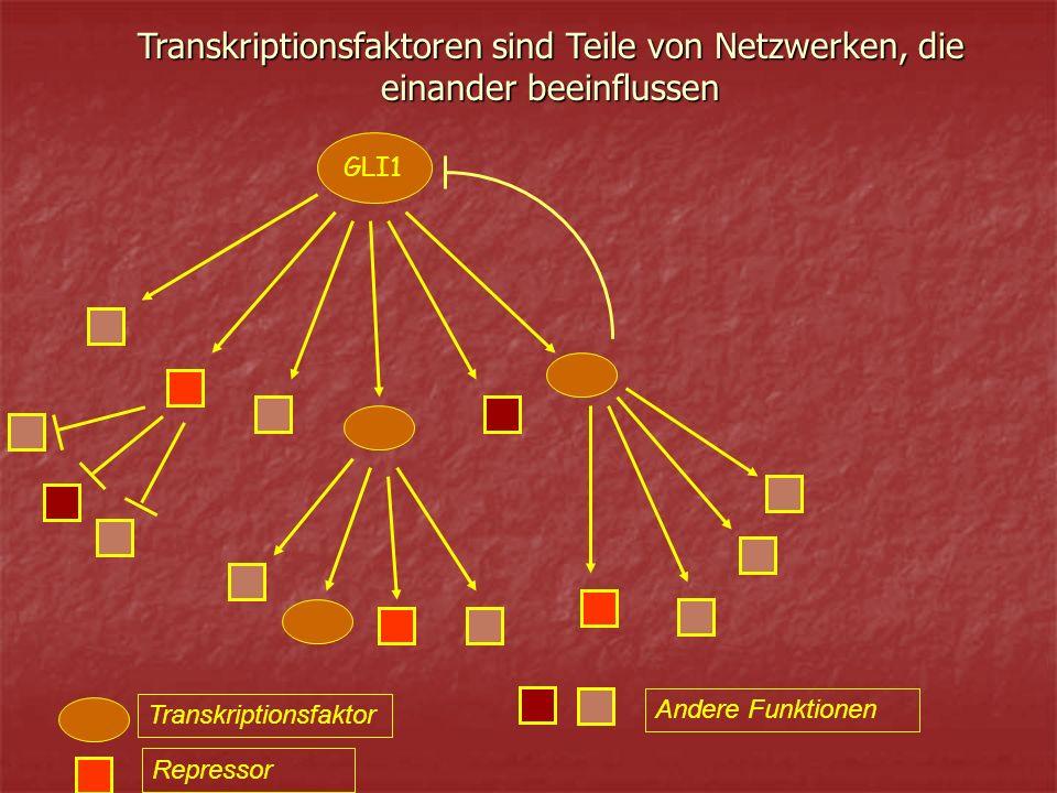 Transkriptionsfaktor Repressor Andere Funktionen Transkriptionsfaktoren sind Teile von Netzwerken, die einander beeinflussen GLI1