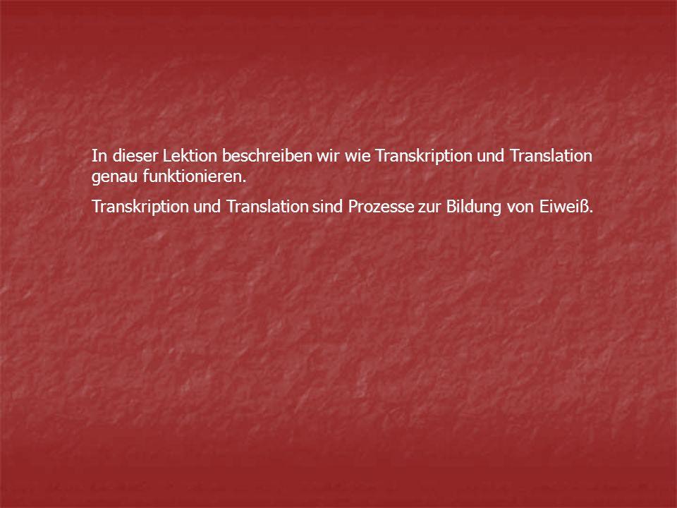 In dieser Lektion beschreiben wir wie Transkription und Translation genau funktionieren.