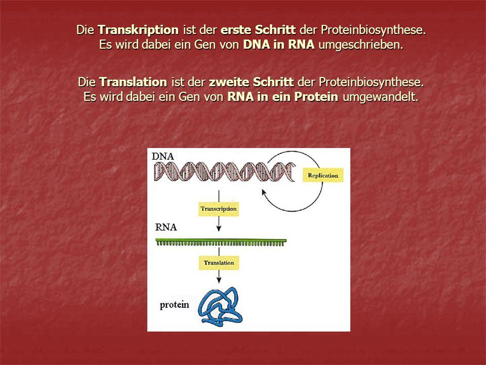 Transkription Transkription bei Eukaryonten: Transkription bei Eukaryonten: Transkription bei Prokaryonten: Transkription bei Prokaryonten: Es wird die Information der DNA in das Botenmolekül mRNA übertragen Transkription erfolgt im Zellern Die mRNA wird nach ihrer Synthese modifiziert, bevor sie durch die Kernmembran in das Cytoplasma transportiert wird Transkription erfolgt im Cytoplasma der Zelle