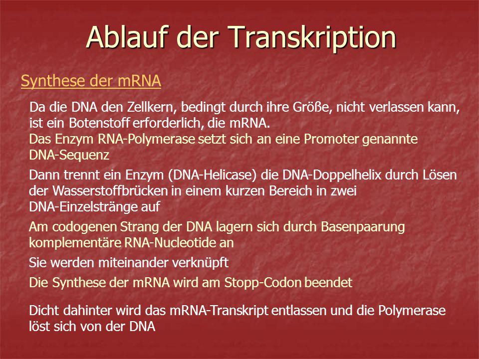 Ablauf der Transkription Da die DNA den Zellkern, bedingt durch ihre Größe, nicht verlassen kann, ist ein Botenstoff erforderlich, die mRNA.