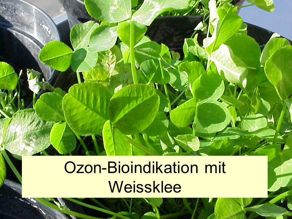Ozon-Bioindikation mit Weissklee Bioindikatoren sind Lebewesen, deren Vorkommen, Verhalten oder Merkmale sich mit bestimmten Umweltverhältnissen in ei