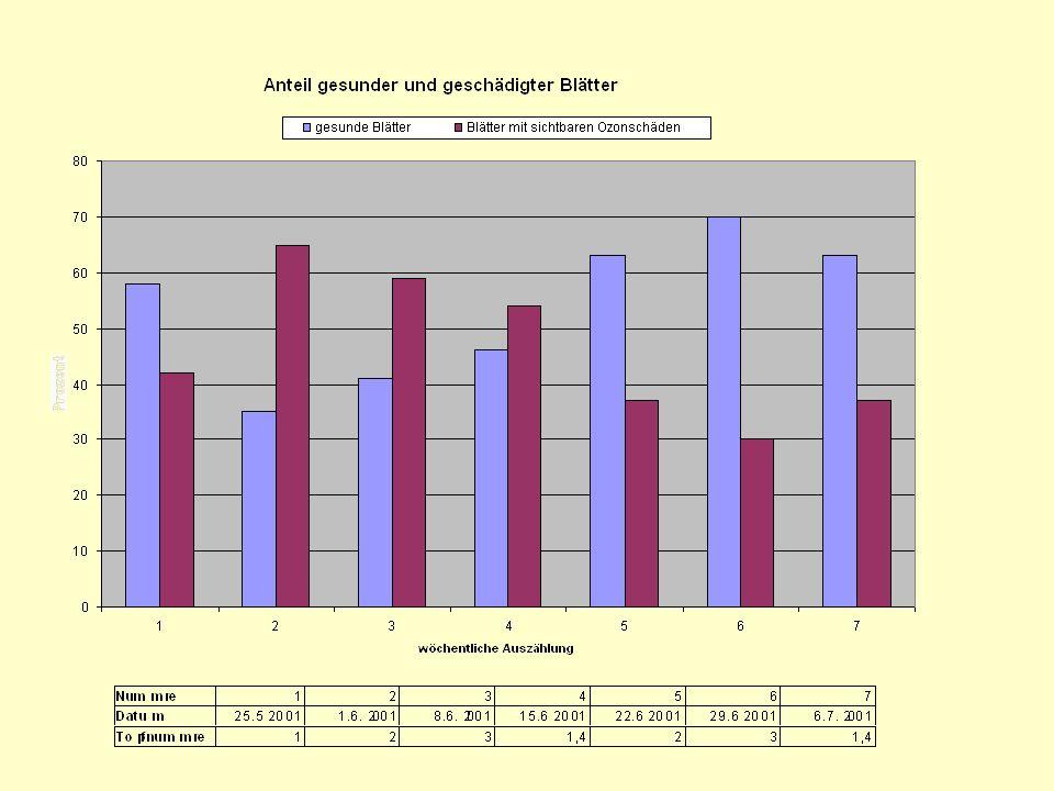 Vergleich der Auszählung mit den Messwerten Die ausgezählten Blätter zeigen die Ozoneinwirkung der Wachstums- periode von drei dem Schnitt vorausgehender Wochen.