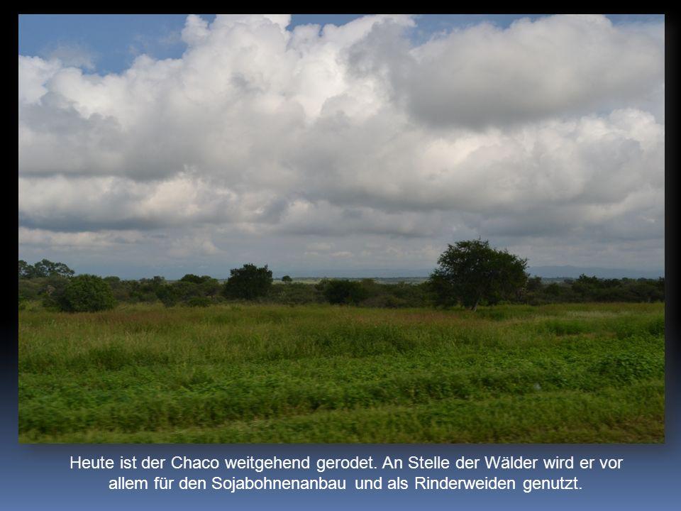 Heute ist der Chaco weitgehend gerodet. An Stelle der Wälder wird er vor allem für den Sojabohnenanbau und als Rinderweiden genutzt.