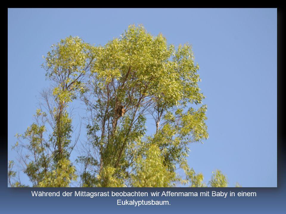 Während der Mittagsrast beobachten wir Affenmama mit Baby in einem Eukalyptusbaum.