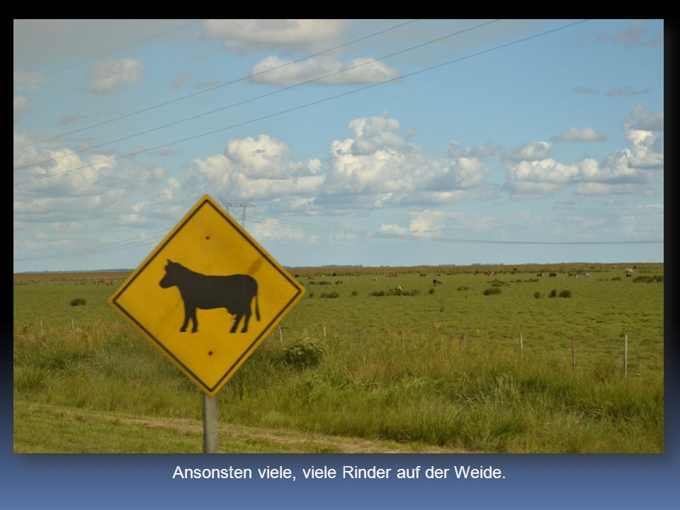 Ansonsten viele, viele Rinder auf der Weide.