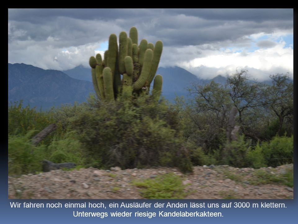 Wir fahren noch einmal hoch, ein Ausläufer der Anden lässt uns auf 3000 m klettern. Unterwegs wieder riesige Kandelaberkakteen.