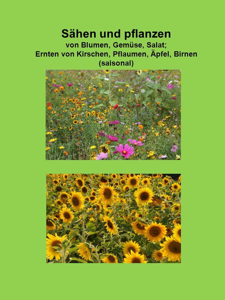 Sähen und pflanzen von Blumen, Gemüse, Salat; Ernten von Kirschen, Pflaumen, Äpfel, Birnen (saisonal)