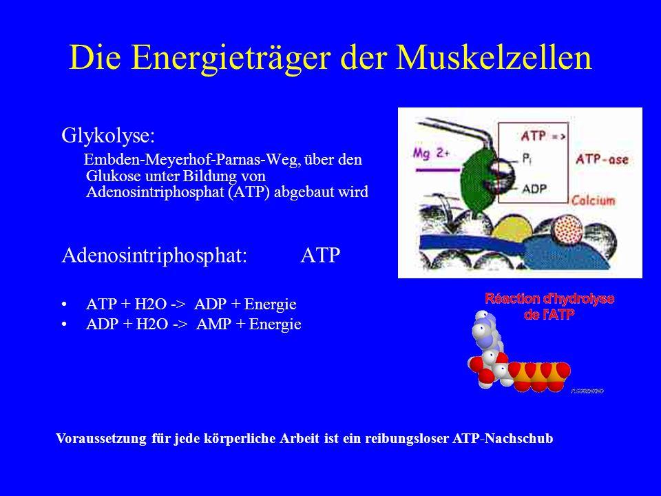 Die Energieträger der Muskelzellen Glykolyse: Embden-Meyerhof-Parnas-Weg, über den Glukose unter Bildung von Adenosintriphosphat (ATP) abgebaut wird A