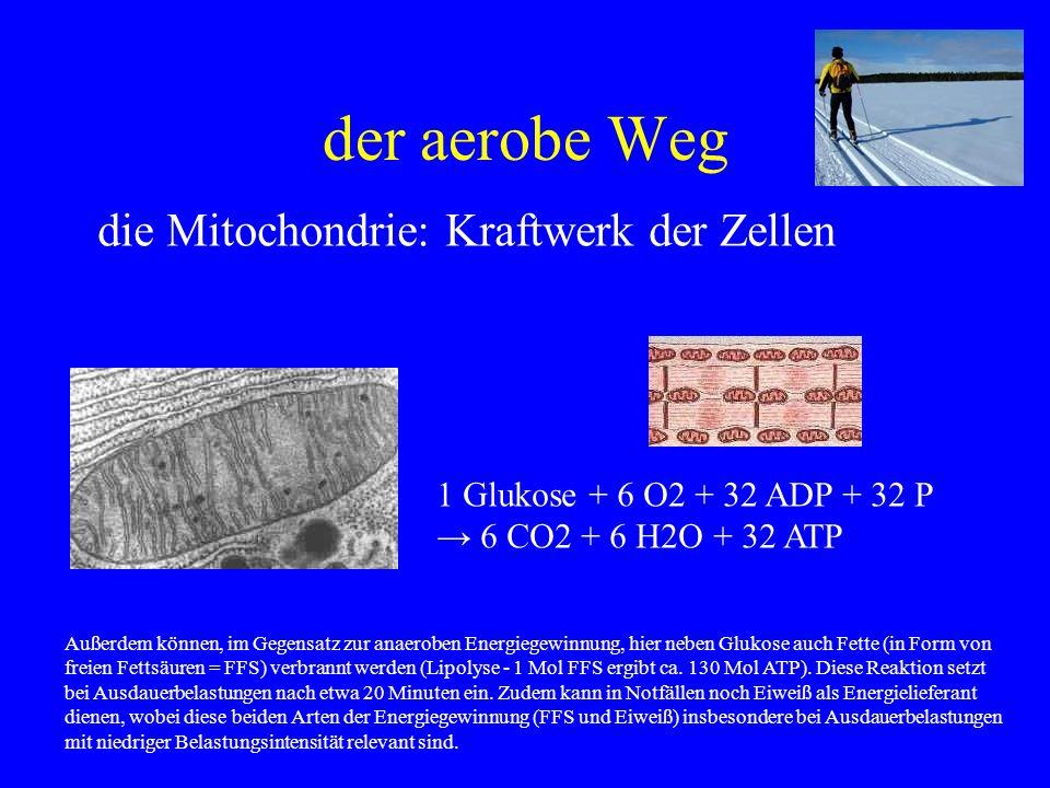 der aerobe Weg die Mitochondrie: Kraftwerk der Zellen 1 Glukose + 6 O2 + 32 ADP + 32 P 6 CO2 + 6 H2O + 32 ATP Außerdem können, im Gegensatz zur anaero