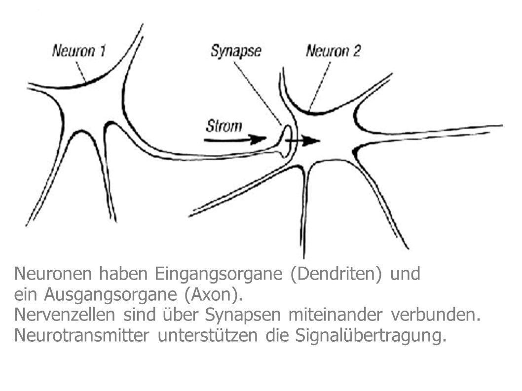 Neuronen haben Eingangsorgane (Dendriten) und ein Ausgangsorgane (Axon). Nervenzellen sind über Synapsen miteinander verbunden. Neurotransmitter unter
