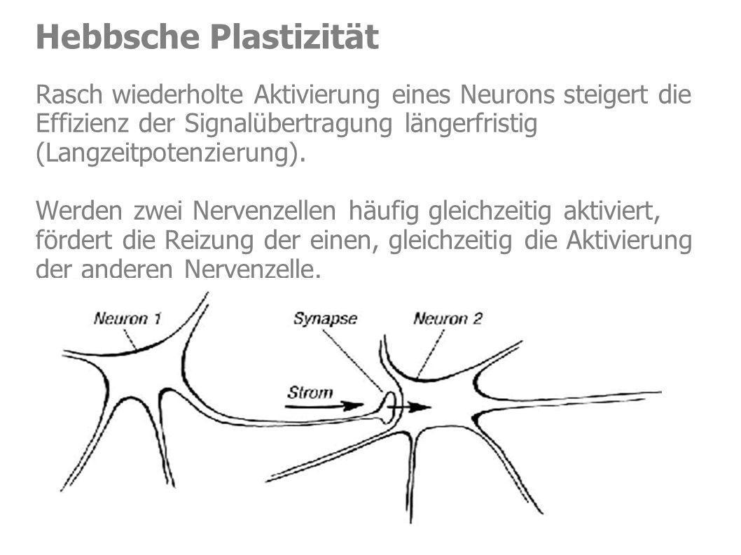 Hebbsche Plastizität Rasch wiederholte Aktivierung eines Neurons steigert die Effizienz der Signalübertragung längerfristig (Langzeitpotenzierung). We