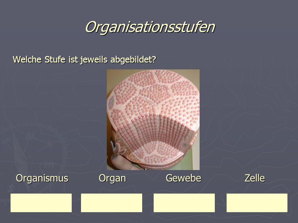 Organisationsstufen Welche Stufe ist jeweils abgebildet? Organismus Organ Gewebe Zelle