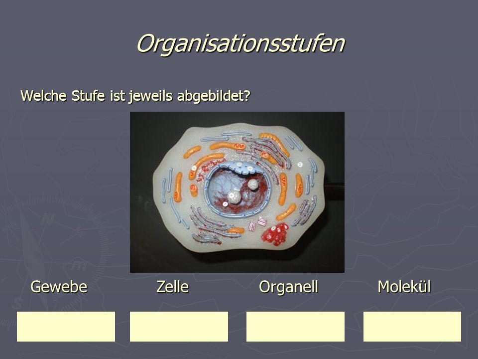 Organisationsstufen Welche Stufe ist jeweils abgebildet? Gewebe Zelle Organell Molekül Gewebe Zelle Organell Molekül