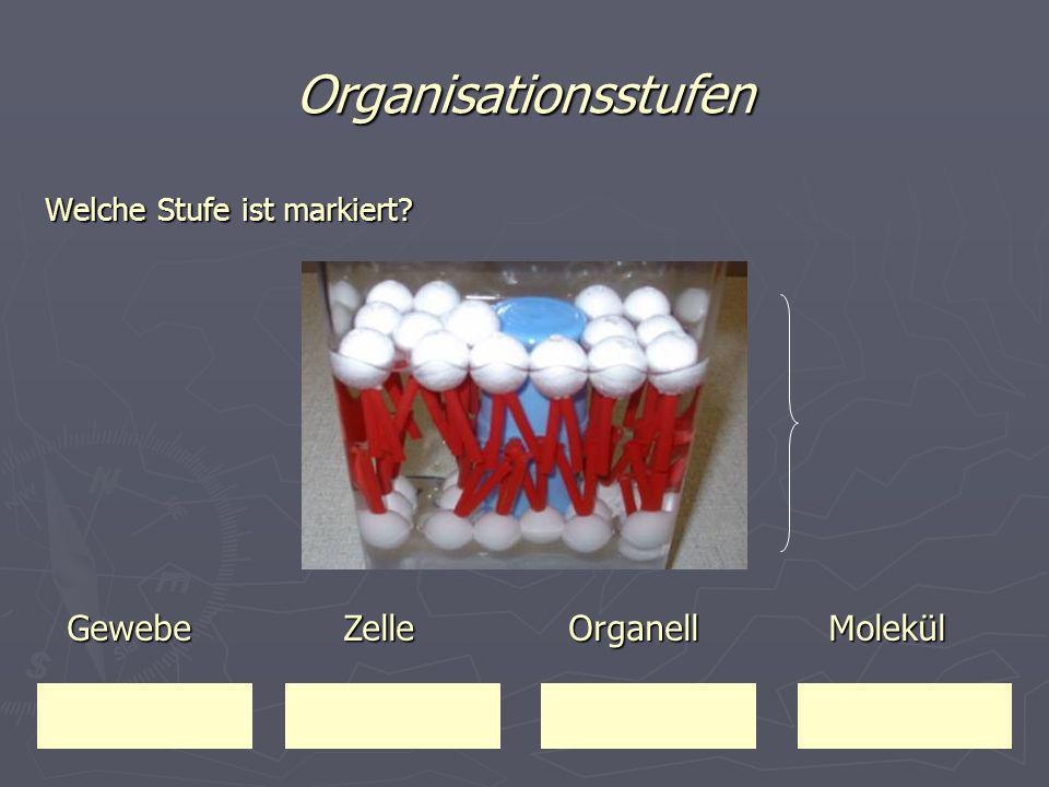 Organisationsstufen Welche Stufe ist markiert? Gewebe Zelle Organell Molekül Gewebe Zelle Organell Molekül