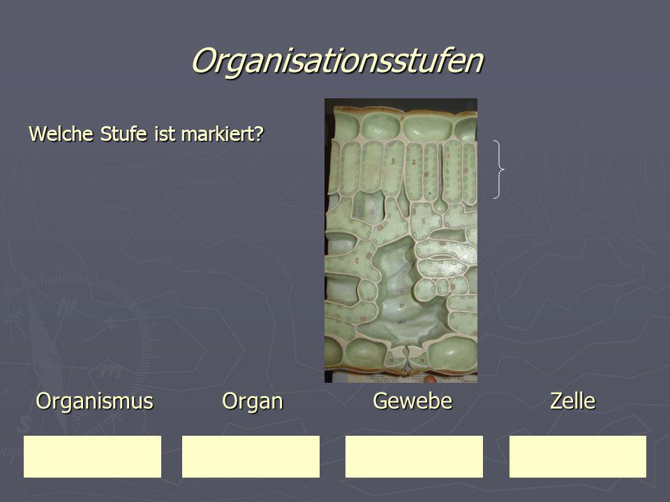Organisationsstufen Welche Stufe ist markiert? Organismus Organ Gewebe Zelle